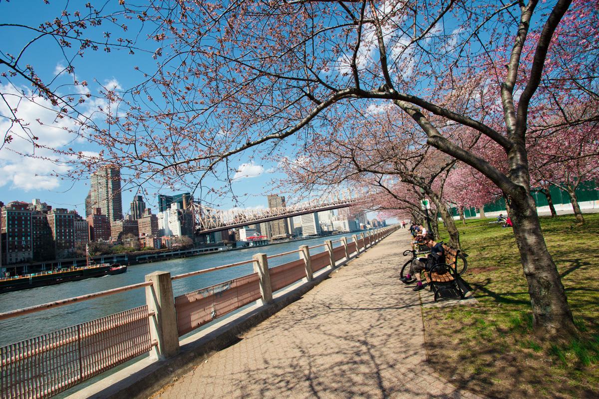 Roosevelt Island Blossoms