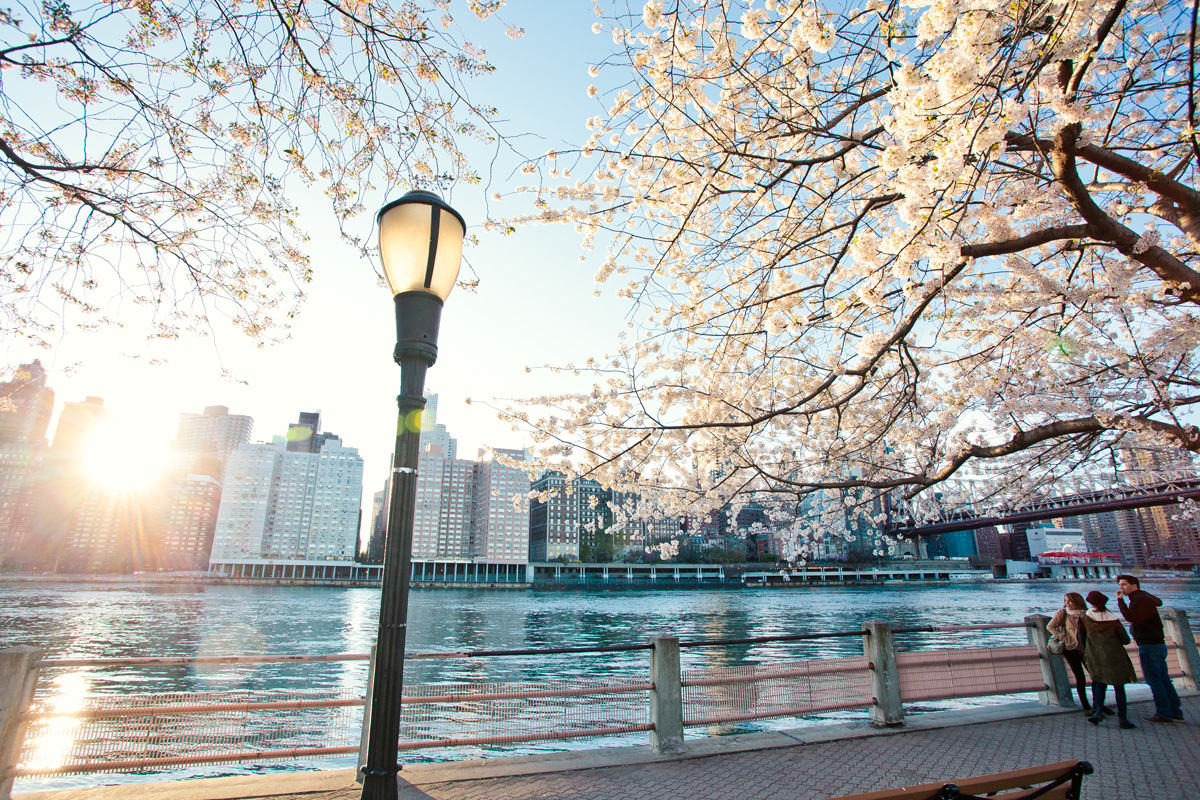 Roosevelt Island Cherry Blossoms